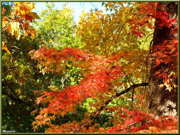 Sous-bois : Chênes et Liquidambar (ou Copalme d'Amérique) aux couleurs automnales, forêt sur le Bassin d'Arcachon (33)