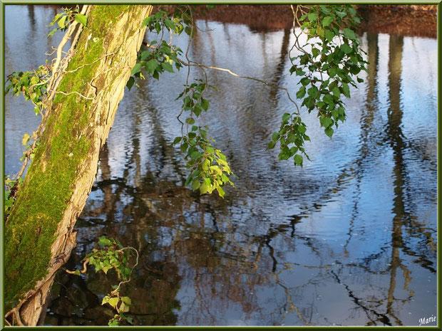 Pin habillé de mousse et lierre avec reflets sur le Canal des Landes au Parc de la Chêneraie à Gujan-Mestras (Bassin d'Arcachon)