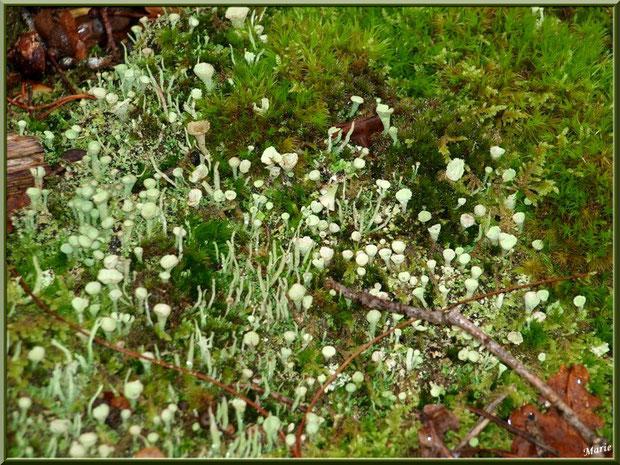 Cladonie Fimbriée parmi la mousse en forêt du Bassin d'Arcachon