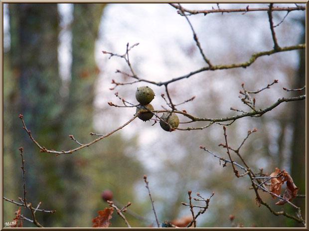Chêne hivernal : feuilles et boules de chêne au Parc de la Chêneraie à Gujan-Mestras (Bassin d'Arcachon)