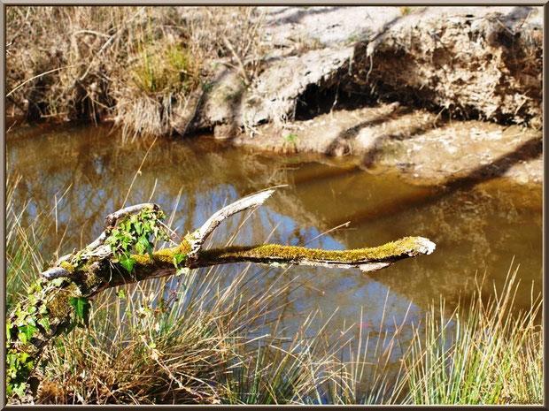 Branche de chêne et reflets sur le ruisseau bordant le sentier forestier, Sentier du Littoral secteur Pont Neuf, Le Teich, Bassin d'Arcachon (33)