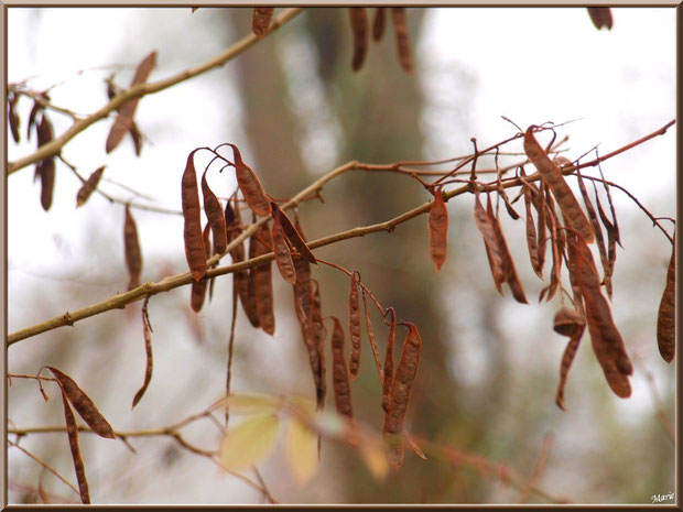 Gousses hivernales d'acacia dans la brume au Parc de la Chêneraie à Gujan-Mestras (Bassin d'Arcachon)