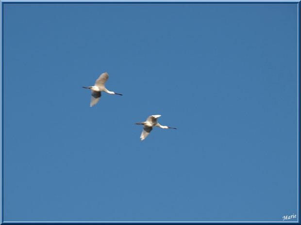 Cigognes blanches en vol au-dessus du Sentier du Littoral, secteur Moulin de Cantarrane, Bassin d'Arcachon