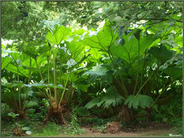 Le sentier de la Vallée du Bas  : Gunnera manicata ou Rhubarbes géantes du Brésil - Les Jardins du Kerdalo à Trédarzec, Côtes d'Armor