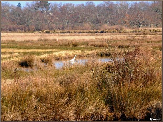 Aigrette dans un réservoir au milieu de la végétation des marais, Sentier du Littoral, secteur Domaine de Certes et Graveyron, Bassin d'Arcachon (33)