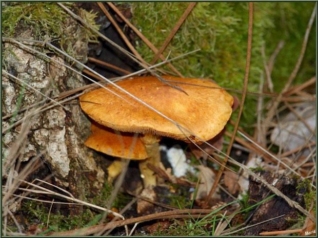 Gymnopiles Remarquables ou Pholiotes Remarquables épanouis en forêt sur le Bassin d'Arcachon
