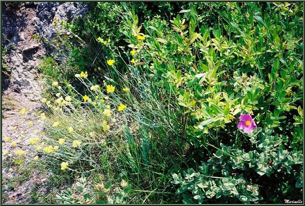 La végétation de la garrigue dans le Val d'Enfer, Baux-de-Provence, Alpille (13) : cistes, immortelles