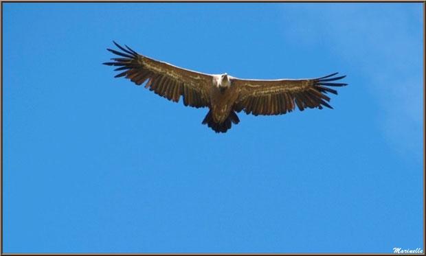 Vautour en plein vol sur les hauteurs du col de l'Aubisque (Vallée d'Ossau- 64)