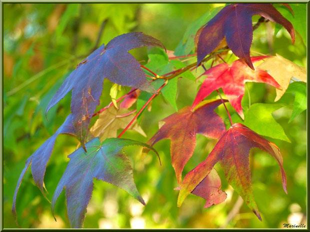 Feuilles de Liquidambar (ou Copalme d'Amérique) aux couleurs automnales, forêt sur le Bassin d'Arcachon (33)