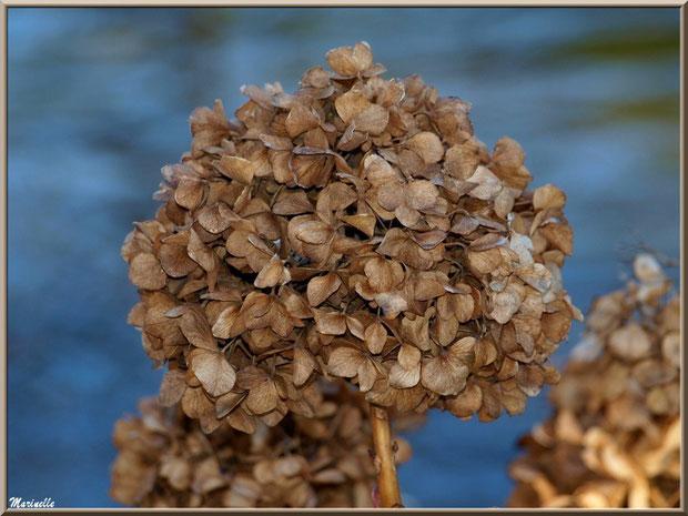 Hortensia en hiver, fleurs caramélisées, au Parc de la Chêneraie à Gujan-Mestras (Bassin d'Arcachon)