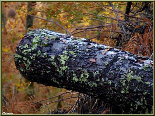 Reliques de manteau neigeux sur tronc de pin au sol, forêt sur le Bassin d'Arcachon (33)