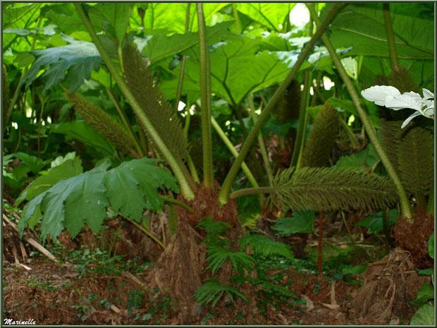 Le sentier de la Vallée du Bas  : Gunnera manicata ou Rhubarbes géantes du Brésil et leurs fleurs - Les Jardins du Kerdalo à Trédarzec, Côtes d'Armor (22)