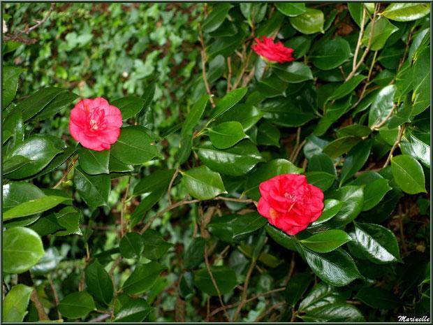 Le sentier de la Vallée du Bas et Camélias en fleurs - Les Jardins du Kerdalo à Trédarzec, Côtes d'Armor (22)