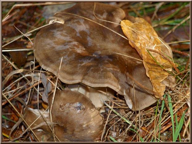 Tricholome Pessundatum en forêt du Bassin d'Arcachon