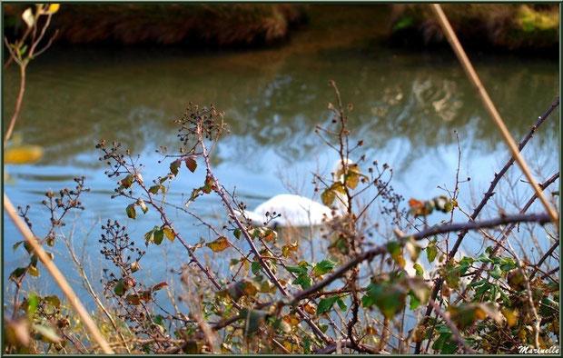 Végétation hivernale en bordure d'un réservoir et cygne au passage, sur le Sentier du Littoral, secteur Moulin de Cantarrane, Bassin d'Arcachon