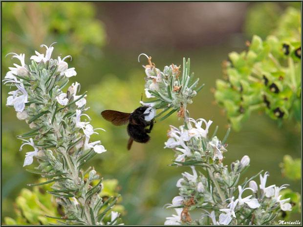 Abeille Charpentière butinant des fleurs de romarin