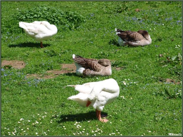 C'est l'heure de la sieste pour les canards et les oies à la Pisciculture des Sources à Laruns, Vallée d'Ossau (64)