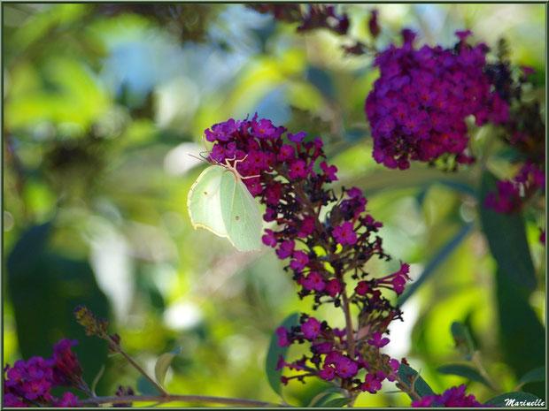 Papillon Citron sur fleur d'Arbre à Papillons