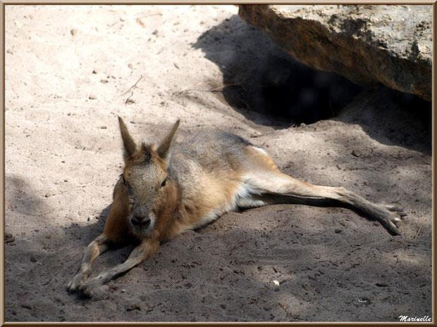 Mara ou Lièvre de Patagonie, Zoo du Bassin d'Arcachon, La Teste de Buch (33)