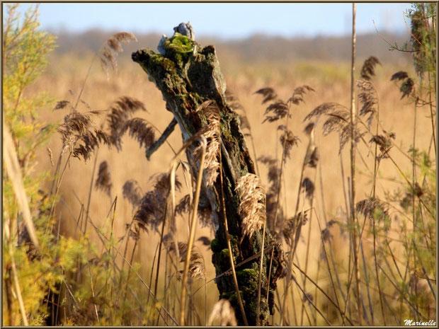 Tronc mort de chêne au coeur des roseaux et tamaris, Sentier du Littoral, secteur Port du Teich en longeant La Leyre, Le Teich, Bassin d'Arcachon (33)