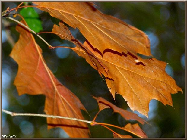 Feuilles de Chêne en période automnale en forêt sur le Bassin d'Arcachon (33)