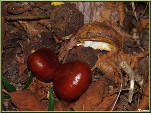 Marrons d'Inde et leur bogue tombée au sol, flore Bassin d'Arcachon (33)