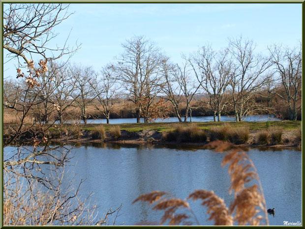 Chênes et roseaux en bordure de réservoirs et une foulque au fil de l'eau, Sentier du Littoral, secteur Port du Teich en longeant La Leyre, Le Teich, Bassin d'Arcachon (33)
