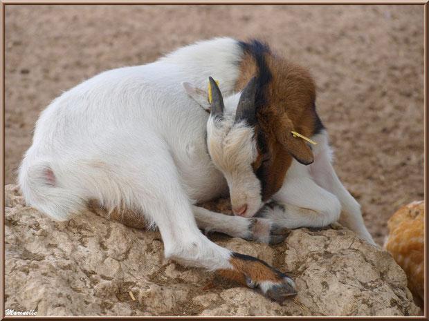 Chèvre naine endormie, Parc de la Coccinelle, mini-ferme à Gujan-Mestras, Bassin d'Arcachon (33)