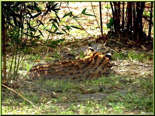 Serval endormi, Zoo du Bassin d'Arcachon, La Teste de Buch (33)