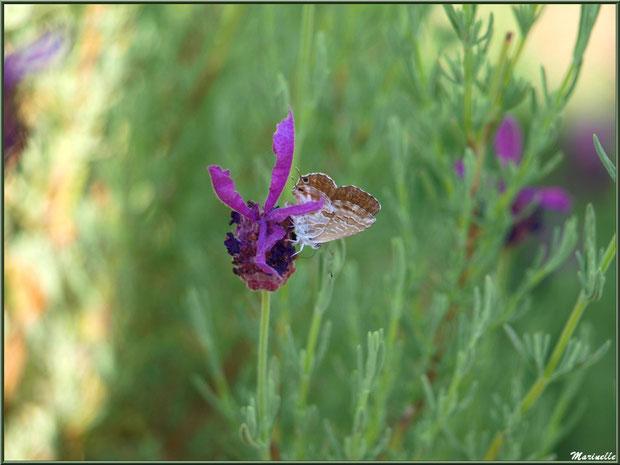 Papillon Brun des Pélargoniums sur fleur de Lavande Papillon