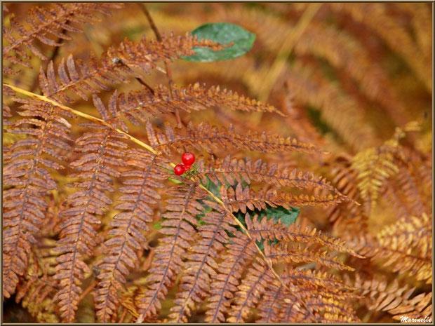 Baies de chêvrefeuille sur branche de fougère en période automnale, en forêt sur le Bassin d'Arcachon (33)