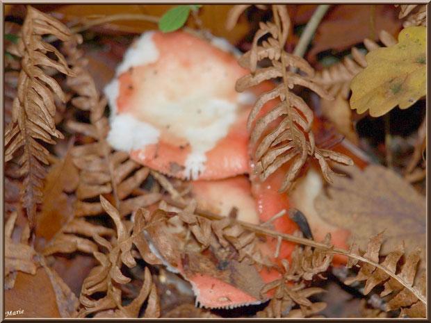 Russules bien cachées en forêt sur le Bassin d'Arcachon