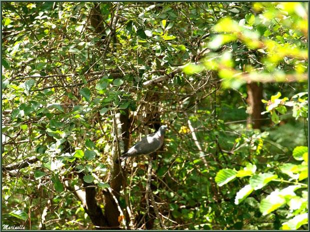 Palombe dans un arbre au Parc de la Chêneraie à Gujan-Mestras (Bassin d'Arcachon)