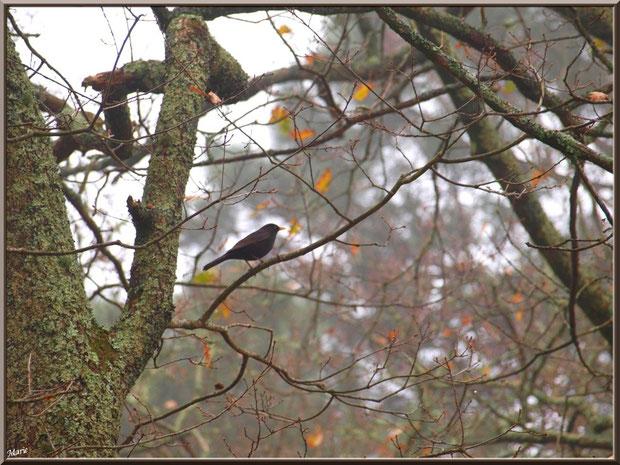 Merle dans un chêne, un jour de brume, au Parc de la Chêneraie à Gujan-Mestras (Bassin d'Arcachon)