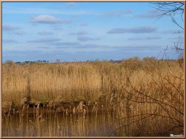 Entre les roseaux, coule La Leyre, Sentier du Littoral, secteur Port du Teich en longeant La Leyre, Le Teich, Bassin d'Arcachon (33)