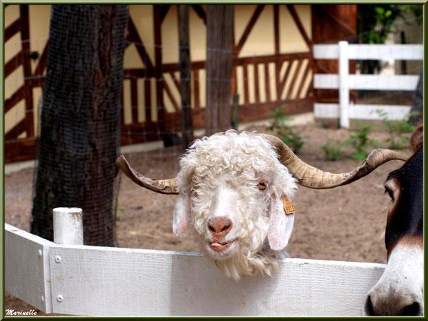Chèvre Angora et son copain l'âne, Parc de la Coccinelle, mini-ferme à Gujan-Mestras, Bassin d'Arcachon (33)