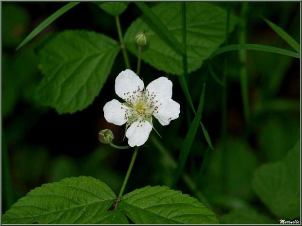 Fraisier des Bois, flore sur le Bassin d'Arcachon (33)