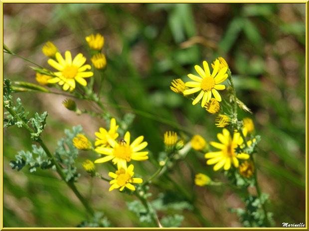 Séneçon Jacobée, flore sur le Bassin d'Arcachon (33)
