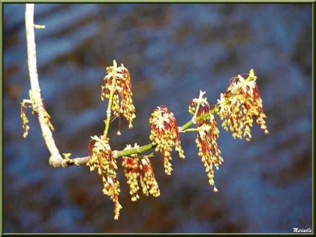 Aulne printanier en fleurs en bordure du Canal des Landes au Parc de la Chêneraie à Gujan-Mestras (Bassin d'Arcachon)
