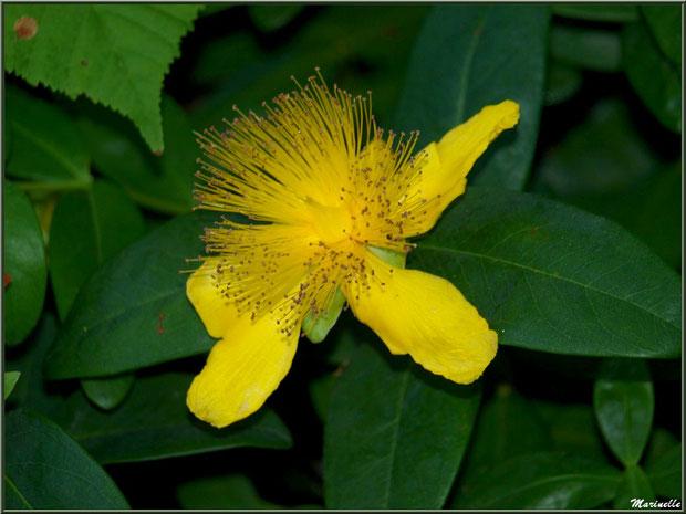 Le sentier de la Vallée du Bas : fleur de Millepertuis - Les Jardins du Kerdalo à Trédarzec, Côtes d'Armor (22)