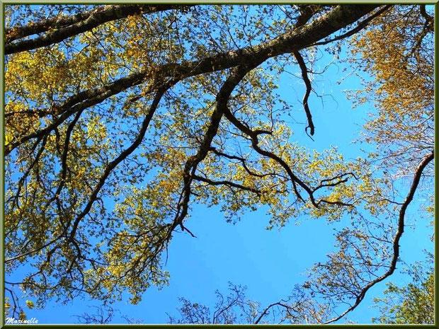 Chêne Pédonculé et ses feuilles en pousses printanières, flore Bassin d'Arcachon (33)