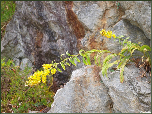 Solidages ou Verges d'or ou Gerbes d'or au creux de la roche, Vallée d'Ossau (64)
