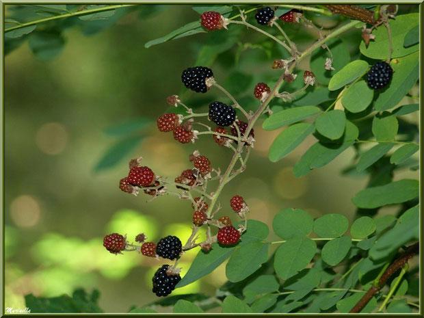 Branche de Mûres, fruits du Roncier, agrippées à un Acacias, flore Bassin d'Arcachon (33)