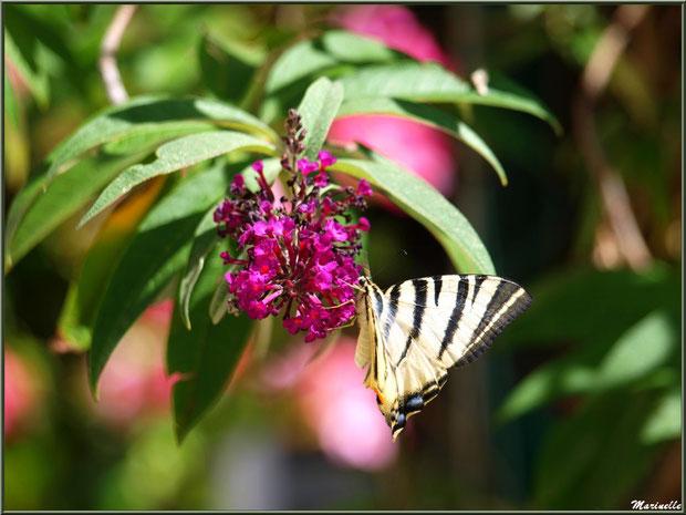 Papillon Flambé butinant sur fleur d'Arbre à Papillons