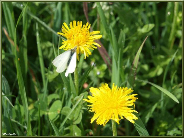 Papillon Piéride sur fleur de Pissenlit