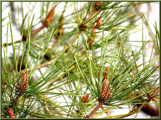 Fleurs de pin printanières (futures pommes de pin),  Sentier du Littoral, secteur Moulin de Cantarrane, Bassin d'Arcachon