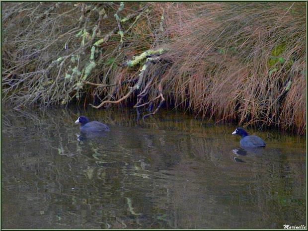 Couple de Foulques et reflets hivernaux dans un réservoir sur le Sentier du Littoral côté Bassin, secteur Moulin de Cantarrane, Bassin d'Arcachon