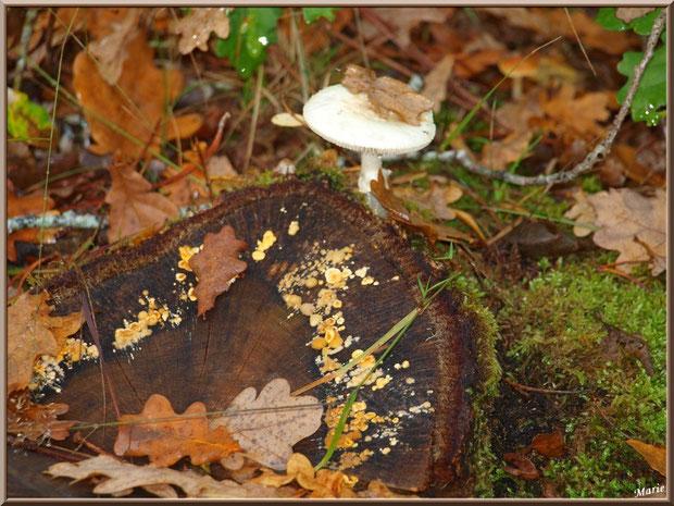 Amanite Citrine et Stérée sur un tronc en forêt sur le Bassin d'Arcachon