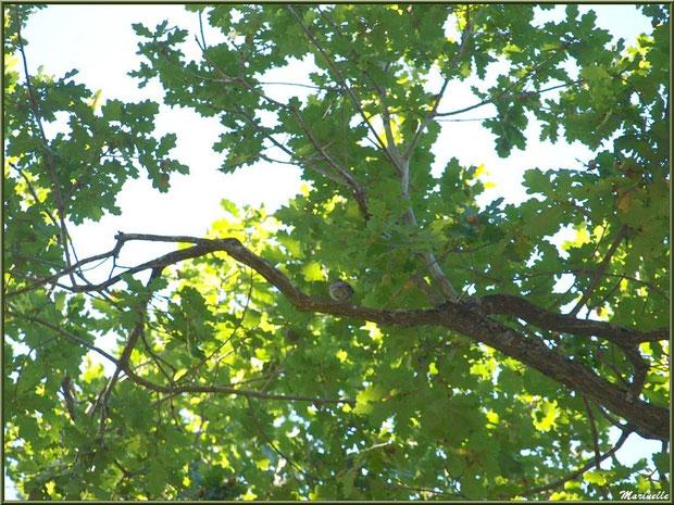 Moineau dans un chêne au Parc de la Chêneraie à Gujan-Mestras (Bassin d'Arcachon)