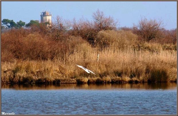 Végétation des marais en bordure d'un réservoir, vol d'une mouette et château d'eau d'Audenge en toile de fond, Sentier du Littoral, secteur Domaine de Certes et Graveyron, Bassin d'Arcachon (33)